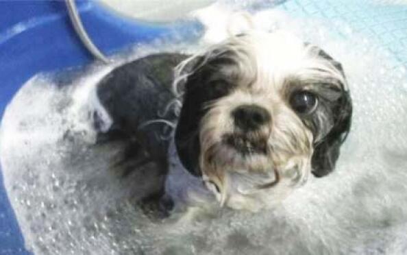 Sesión de peluquería canina con spa ozonoterapia