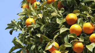 10 Kg de naranjas de Valencia de zumo o mesa o caja combinada con mandarinas y/o aguacates